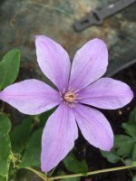 Clematis Sugar Sweet