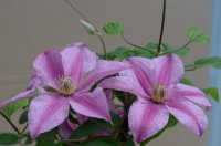 Clematis Sally