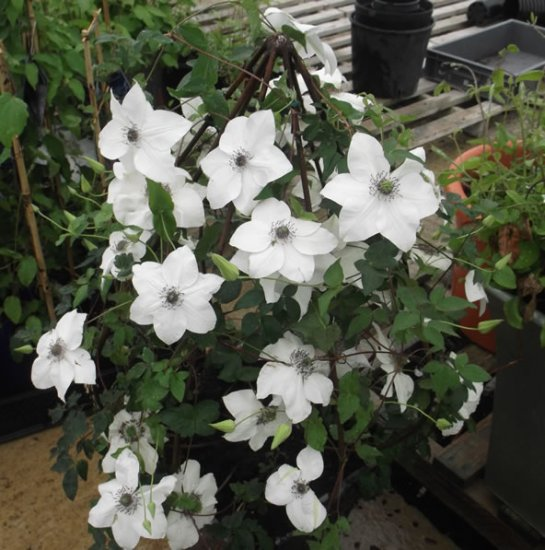 Small Clematis Container Frame - Click Image to Close