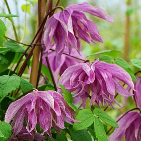 Clematis Purple Dream - Click Image to Close