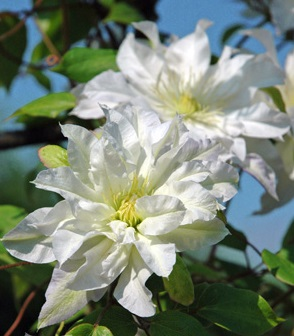 Clematis First Love - Click Image to Close